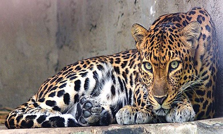 #7 Indochinese Leopard  -