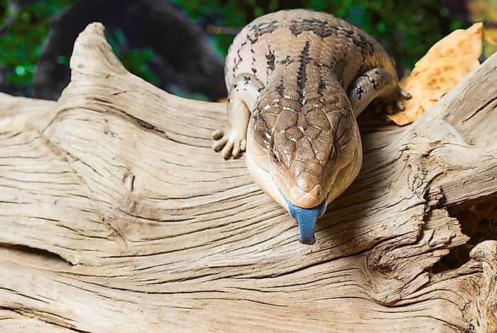 Blue-Tongued Skink: Animals of Oceania