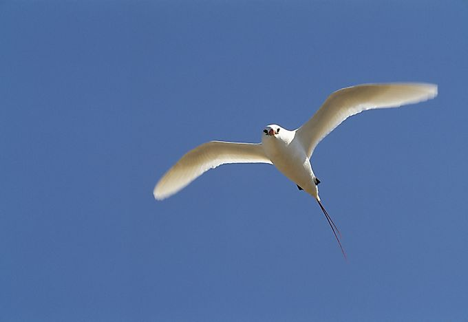 A red-tailed tropicbird.