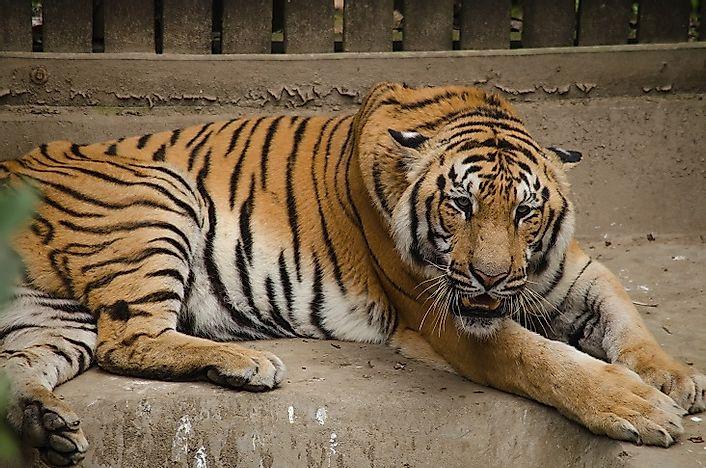 Most Threatened Tigers In The World - WorldAtlas.com on amur tiger map, sumatran tiger map, dhole map, african tiger map, indochinese tiger map, chinese tiger map, caspian tiger map, tiger habitat map, golden tiger map, south china tiger map, malayn tiger map, asiatic cheetah map,