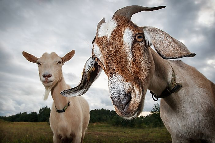 How Goats Help Combat the Spread of Unwanted Plant Species