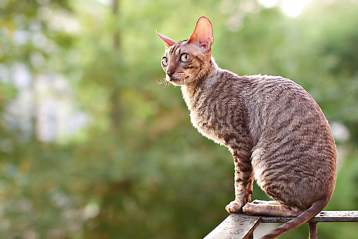 Cornish rex.