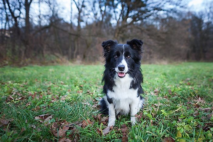 A Border Collie dog.