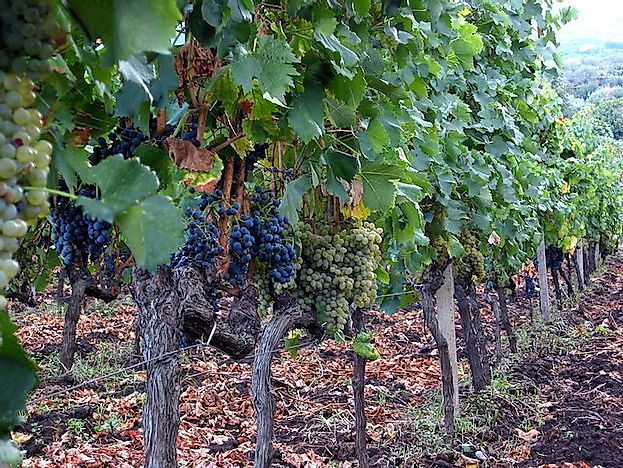 Top Grape Growing Countries