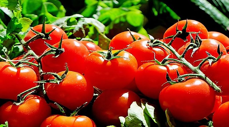The World's Leading Producers of Tomatoes
