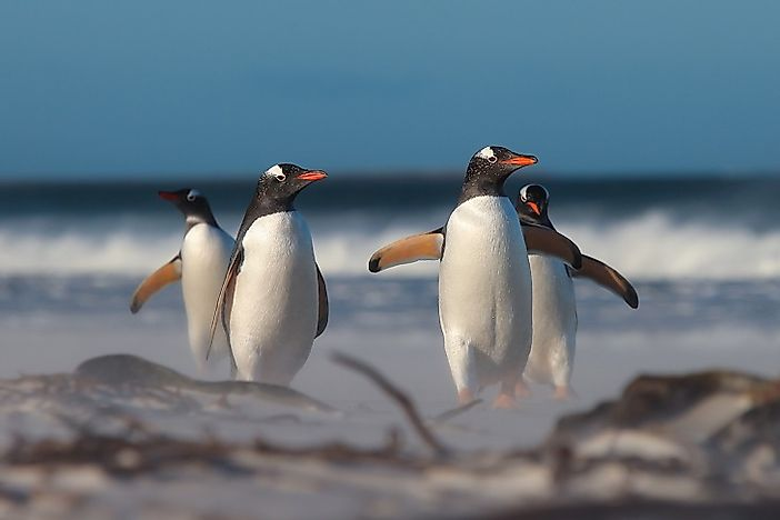 Gentoo Penguin Facts: Animals Of Antarctica