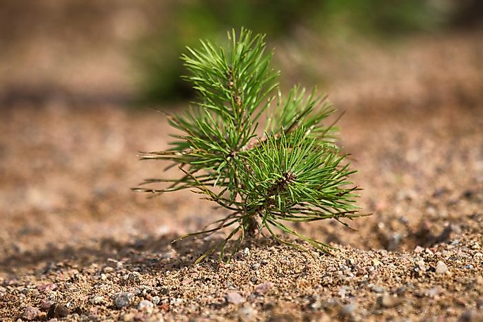 #7 Needle-Shaped Leaves of Coniferous Plants