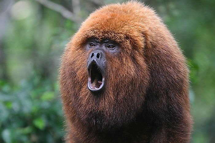 #1 Howler Monkey - 140 decibels