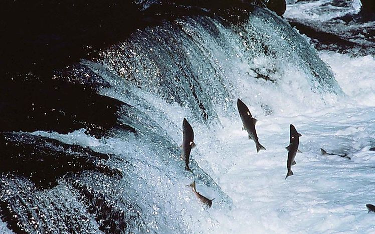 Amazing Natural Phenomena: The Great Salmon Run