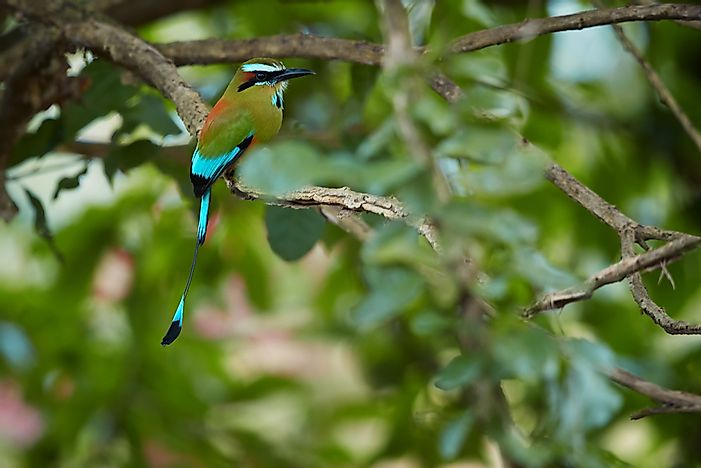 #2 Turquoise-browed Motmot