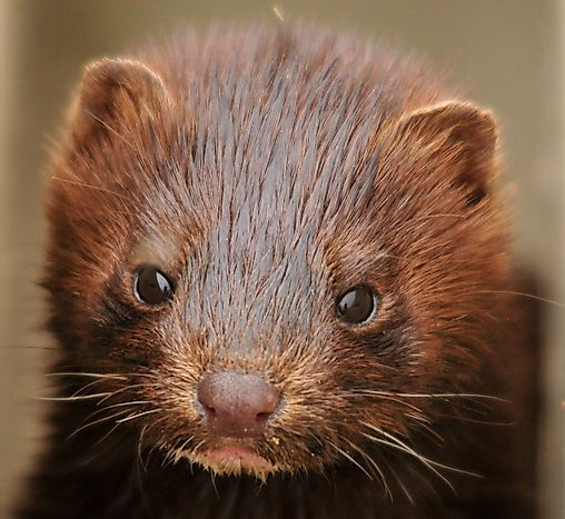American Mink Facts: Animals of North America