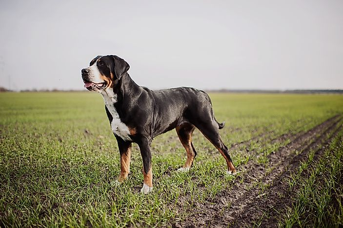 #6 Greater Swiss Mountain Dog
