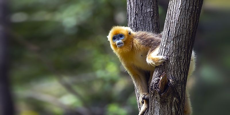 #2 Golden Snub Nosed Monkey