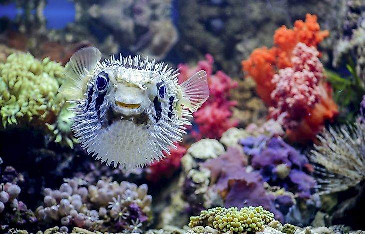 A pufferfish in its natural environment.