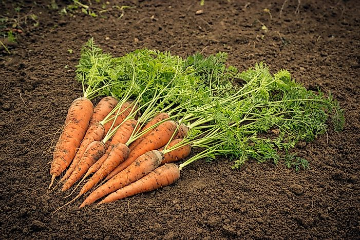 Where Are Carrots And Turnips Grown?