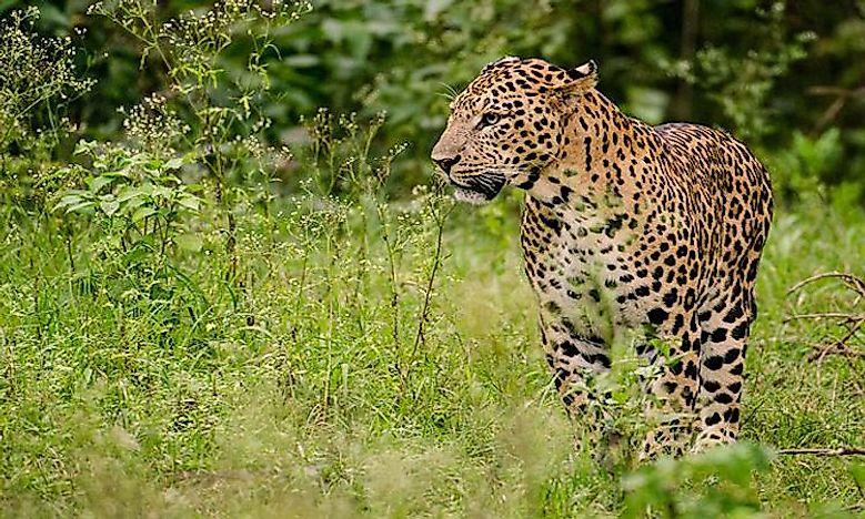 #5 Indian Leopard -