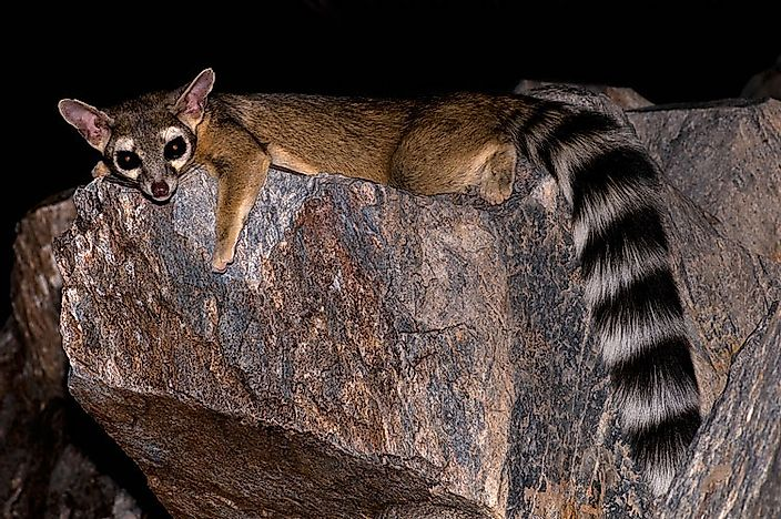 #9 Ringtail Cats