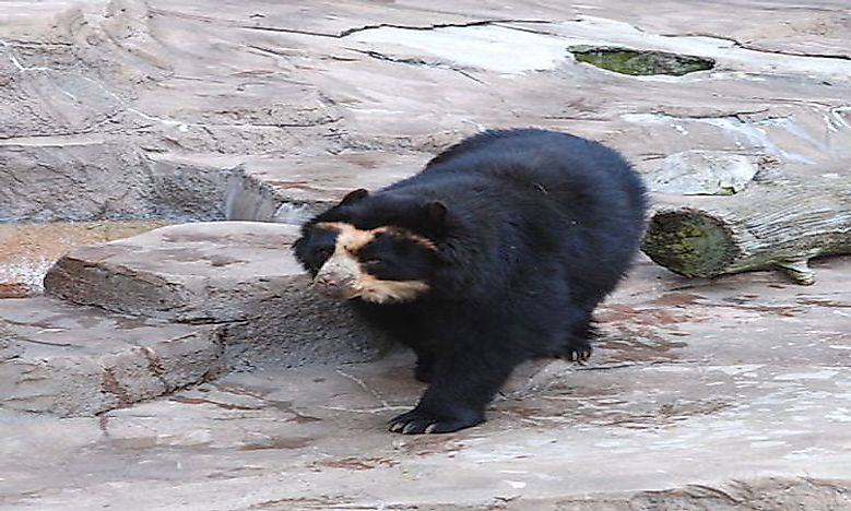 #6 Spectacled Bear -