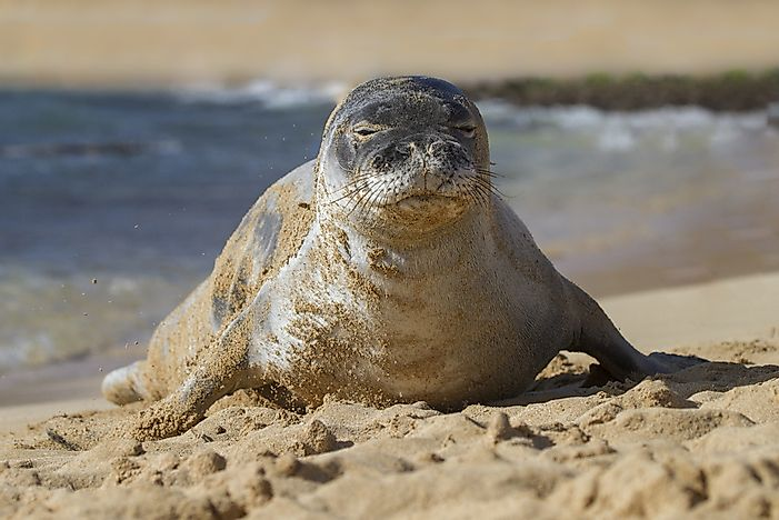 #16 Hawaiian monk seal