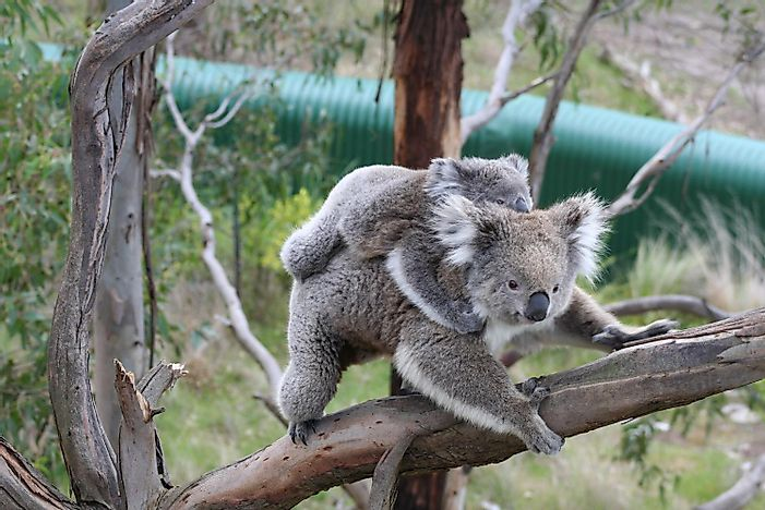 Koala Facts: Animals of Oceania