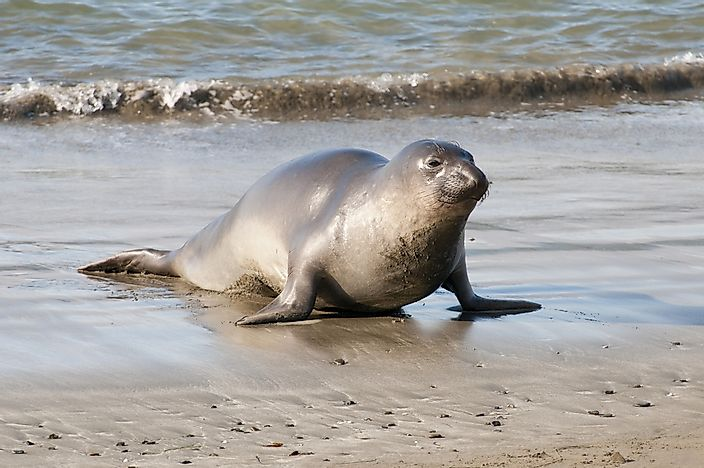 #15 Northern elephant seal