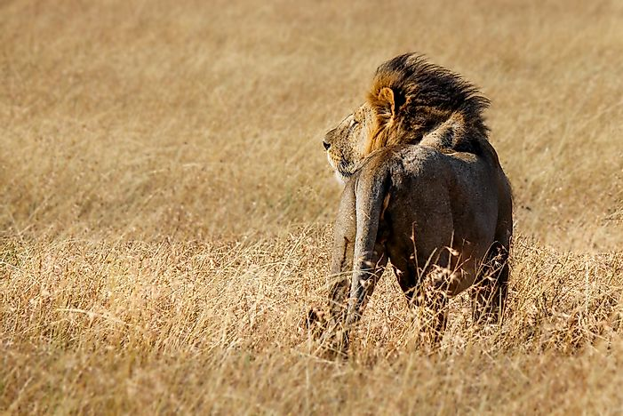 How Many Lions Are Left in the Wild?