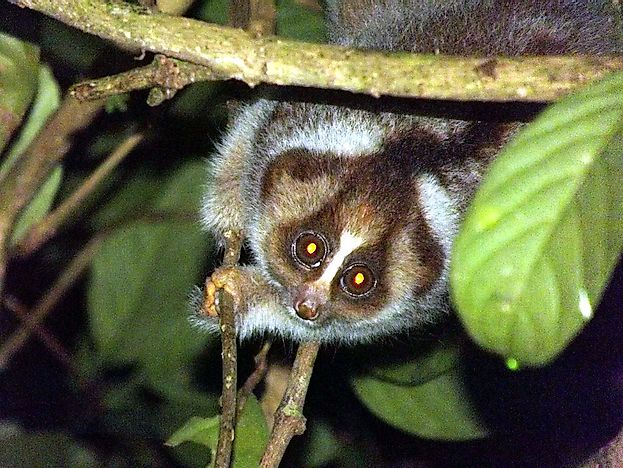 #3 Kayan River Slow Loris