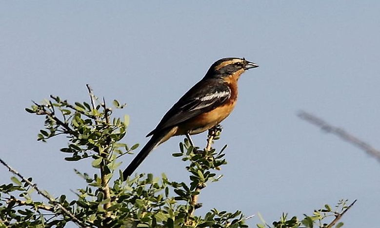 Endemic Birds Of Argentina