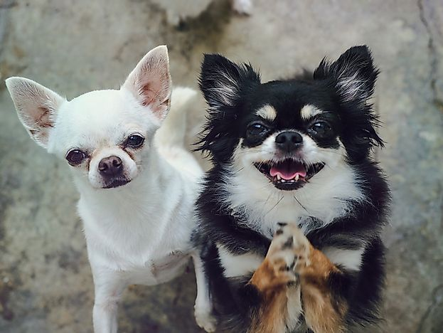 Long and short haired chihuahuas.