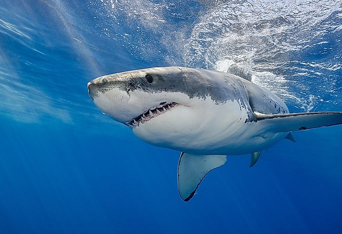 Image of: Cards 10 Great White Shark World Atlas What Animals Live In The Atlantic Ocean Worldatlascom