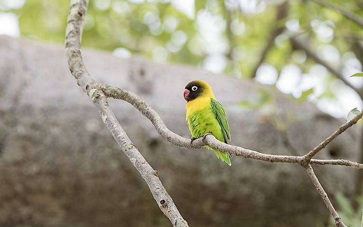 #8 Yellow-collared Lovebird
