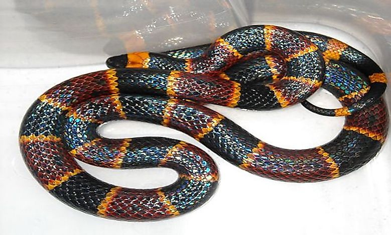 #6 Eastern Coral Snake -