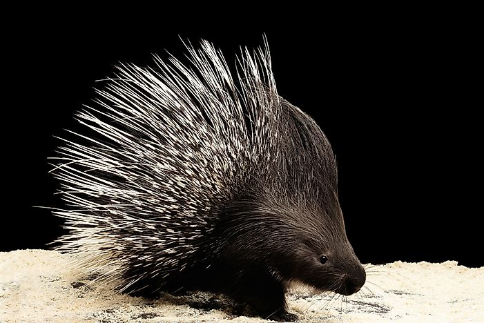 Porcupine Facts - Animals of the World