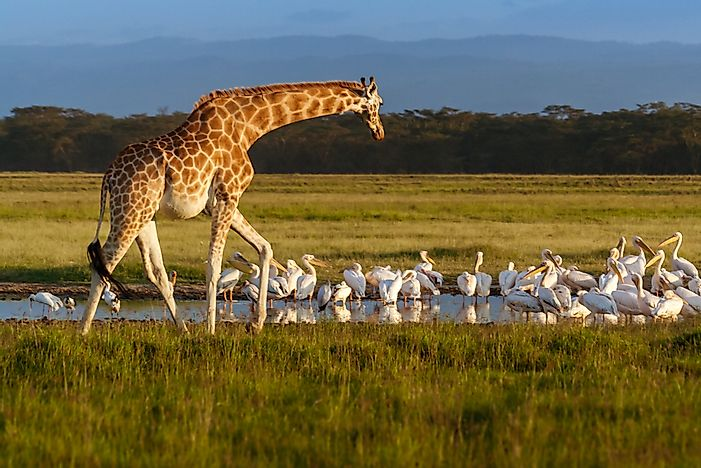 How Many Species of Giraffes Are There In The World?