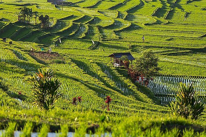 The Jatiluwih rice terraces in Bali, Indonesia.