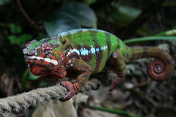 #9 Panther Chameleon