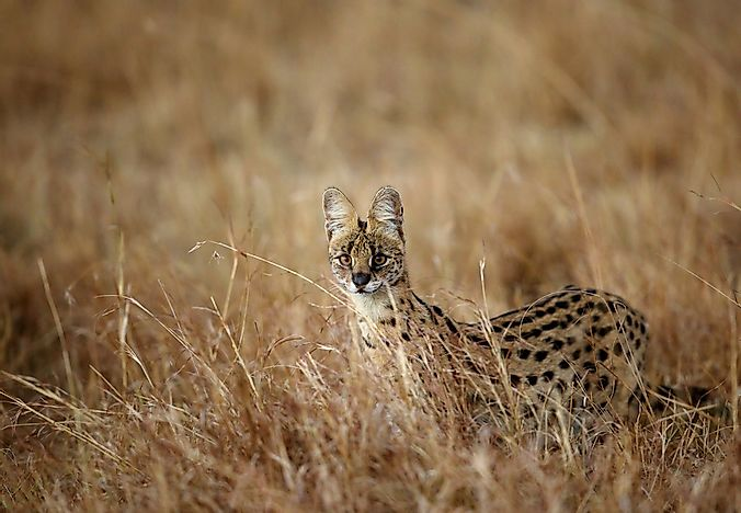 A serval in the savannah.