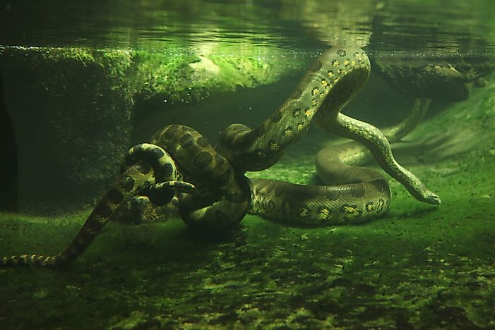 #10 Anaconda - What Animals Live In The Amazon Rainforest?