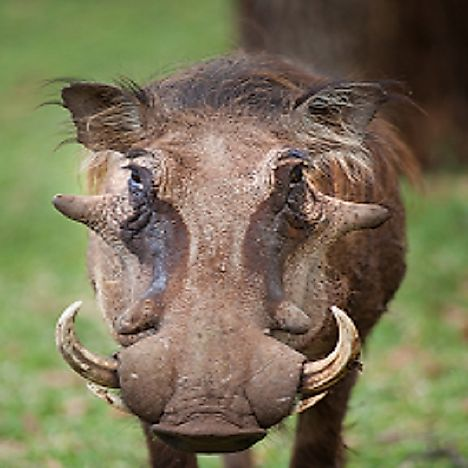 Common Warthog Facts: Animals of Africa
