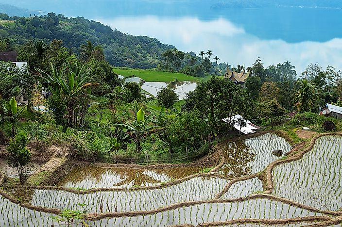 The Lake Maninjau rice terraces in Sumatra, Indonesia.