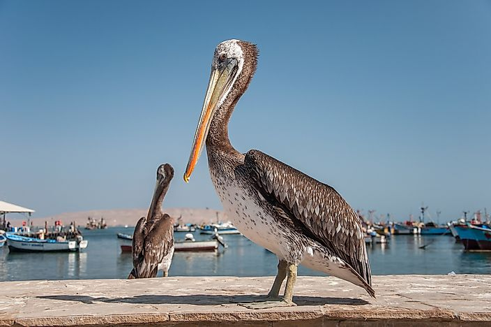 The Peruvian Pelican.