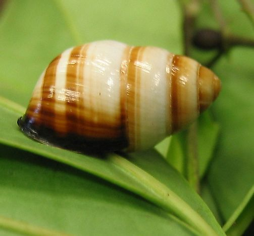 #5 Oahu Tree Snails