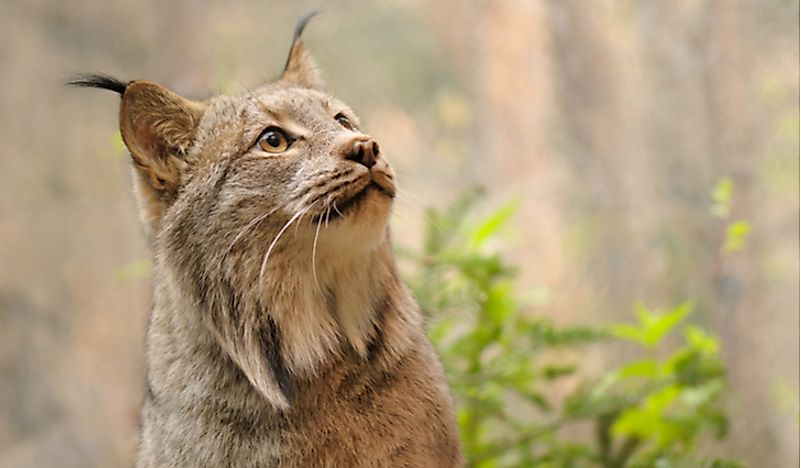 The Wild Cats of North America