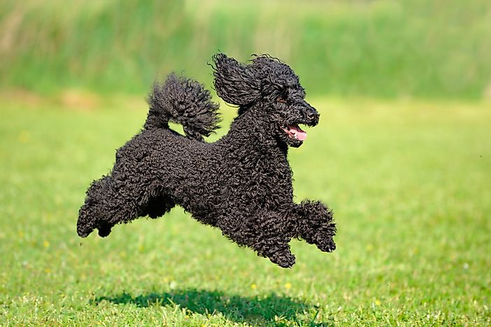 A Poodle running.