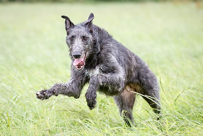 A Scottish deerhound running.
