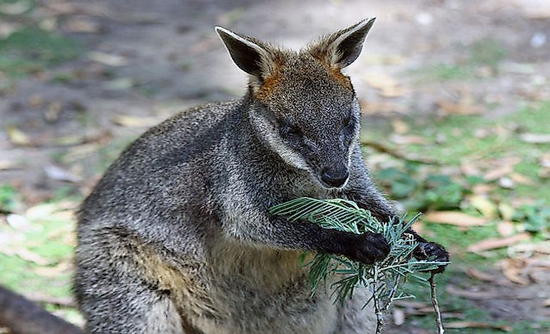 #7 Feral Wallaby