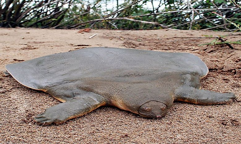 #3 Cantor's Giant Softshell Turtle -