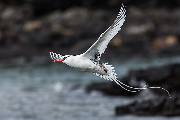 The red-billed tropicbird is the largest tropicbird in the world.