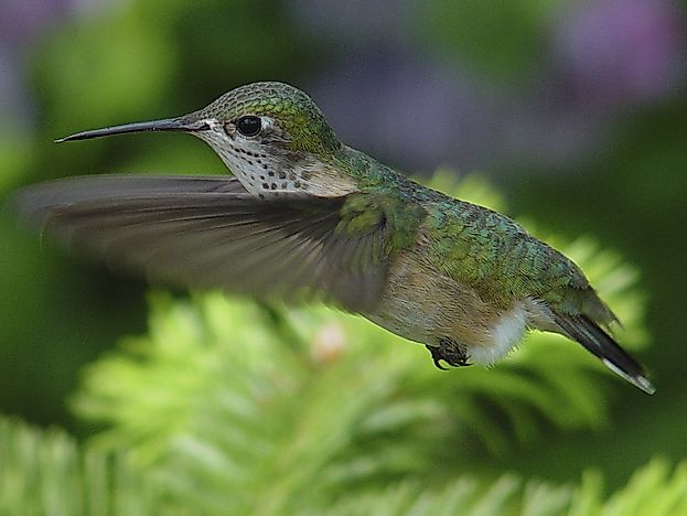 Calliope Hummingbird Facts: Animals of North America
