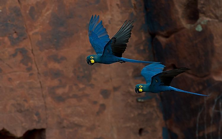 #3 Lear's Macaw